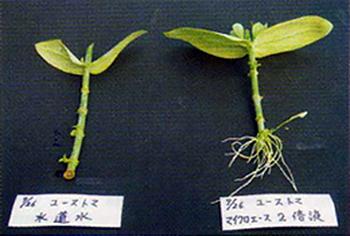 右:リシアンサスを2倍液に挿した1ヶ月後の発根状態