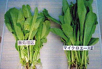 右:マイクロエース1,000倍液を週に1回散布したコマツナ